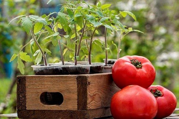 садить помидоры на рассаду в марте