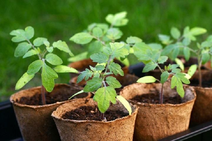 Пять главных правил выращивания здоровой рассады: советы, рекомендации и основные ошибки
