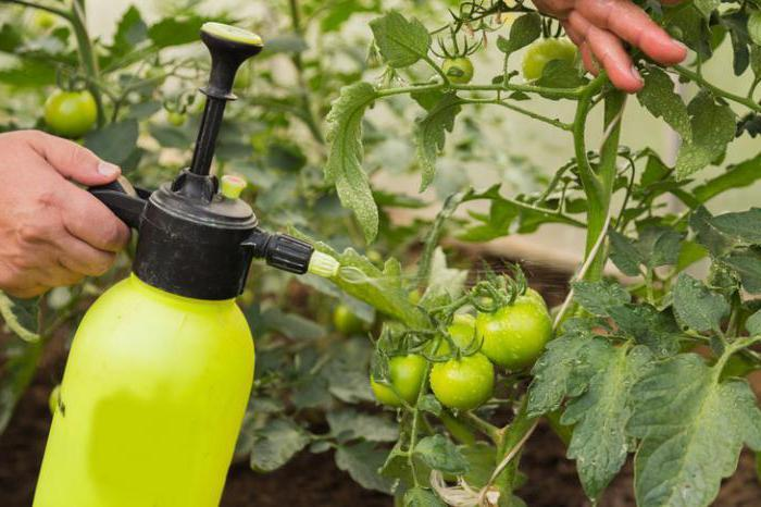 Как защитить помидоры от фитофтороза: обработка рассады томатов от грибка, эффективные советы и рекомендации