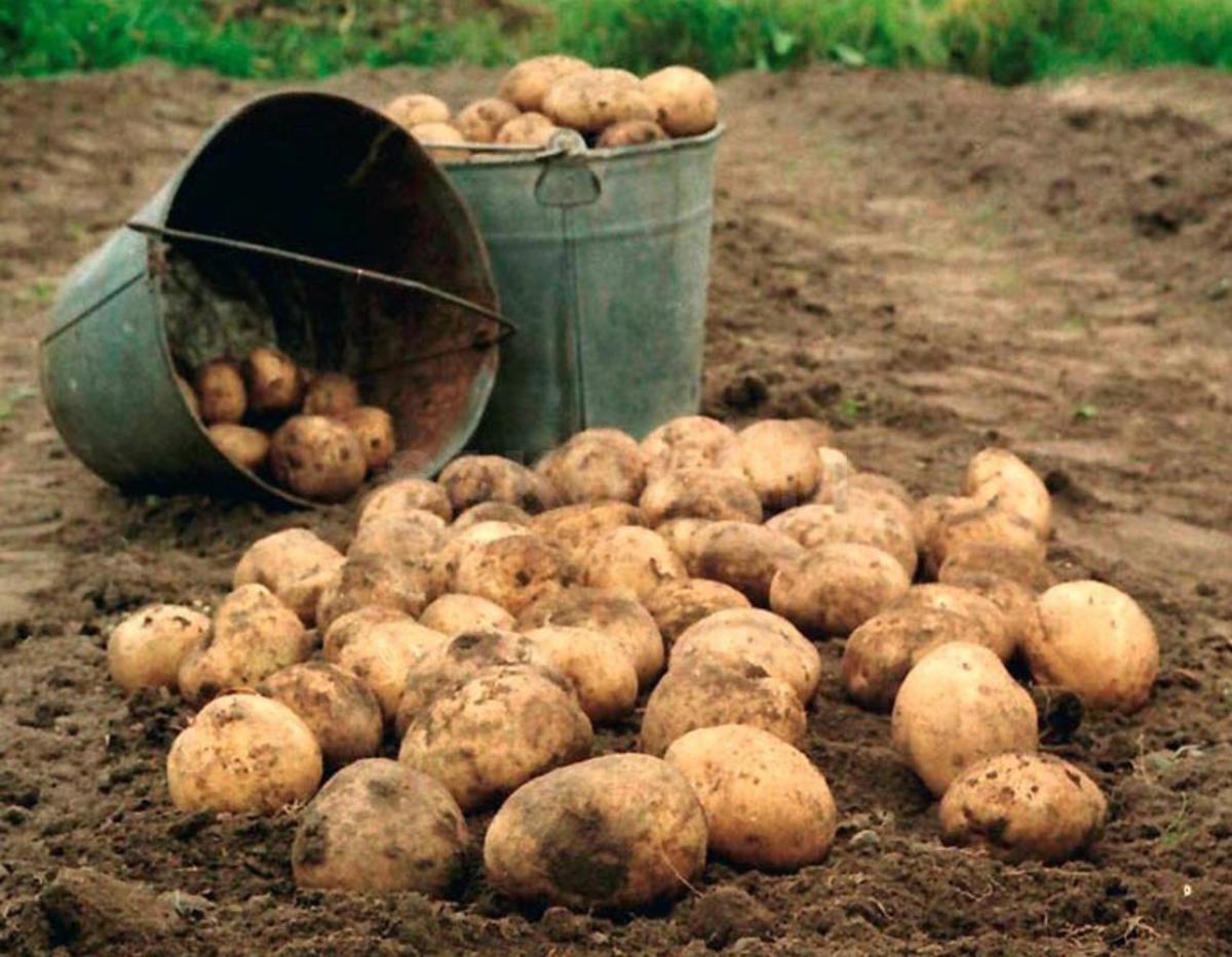 Как копать картофель в 2019 году: благоприятные дни по Лунному календарю в августе 2019