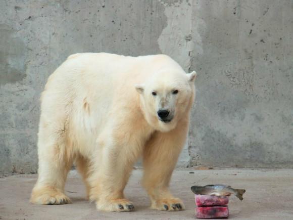 В Таллине усыпали белого медведя, подаренного Московским зоопарком
