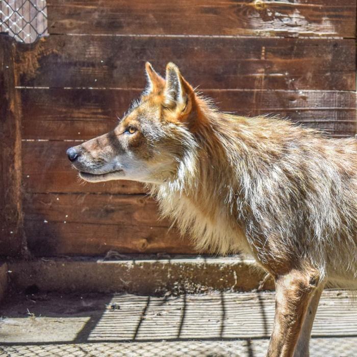 Житель Астрахани два года держал в квартире волка