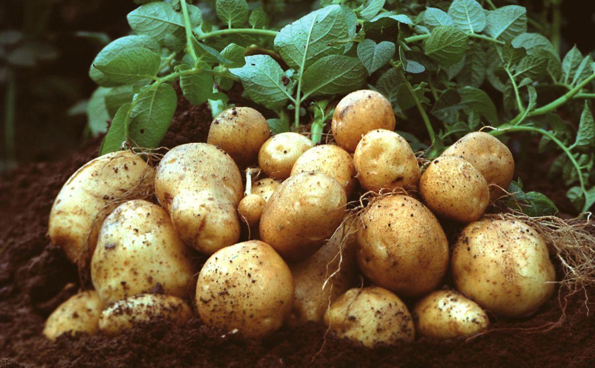 Как получить рекордный урожай картофеля