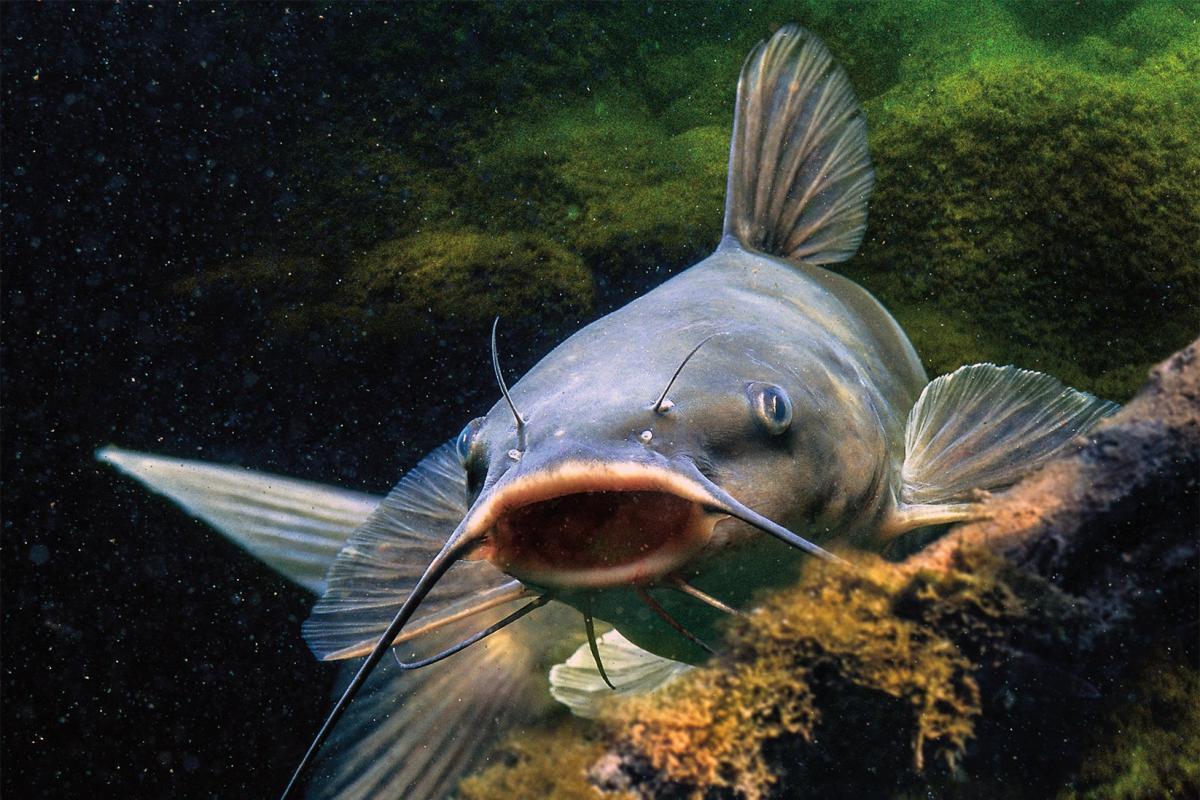 Картинки сом рыба