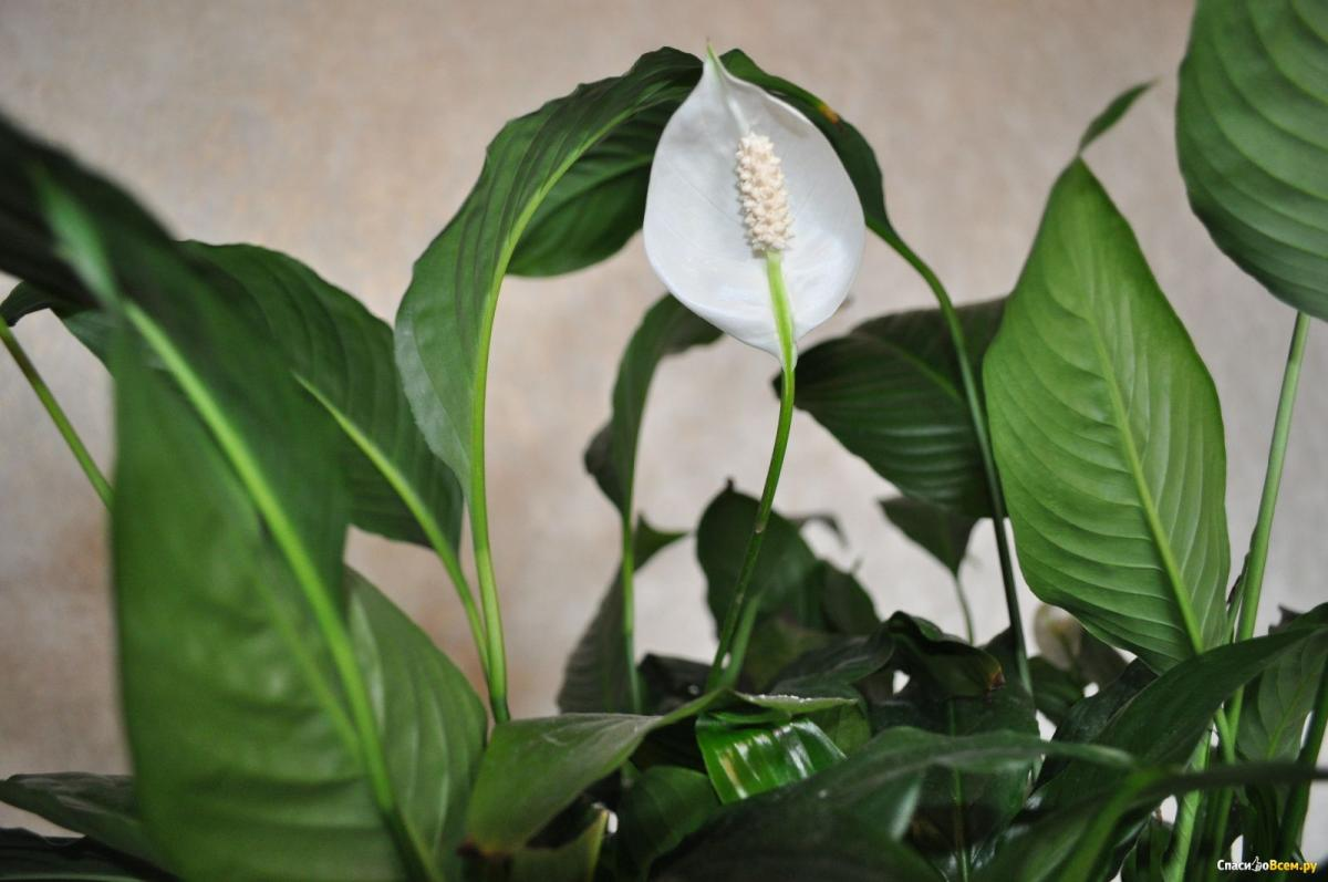 Комнатные цветы, которые укрепляют брак и улучшают отношения в семье