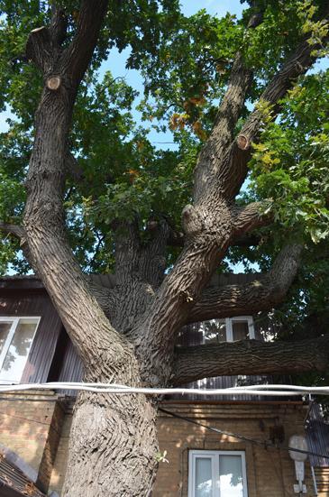 В Ейске растет дерево, которое старше города почти на 100 лет