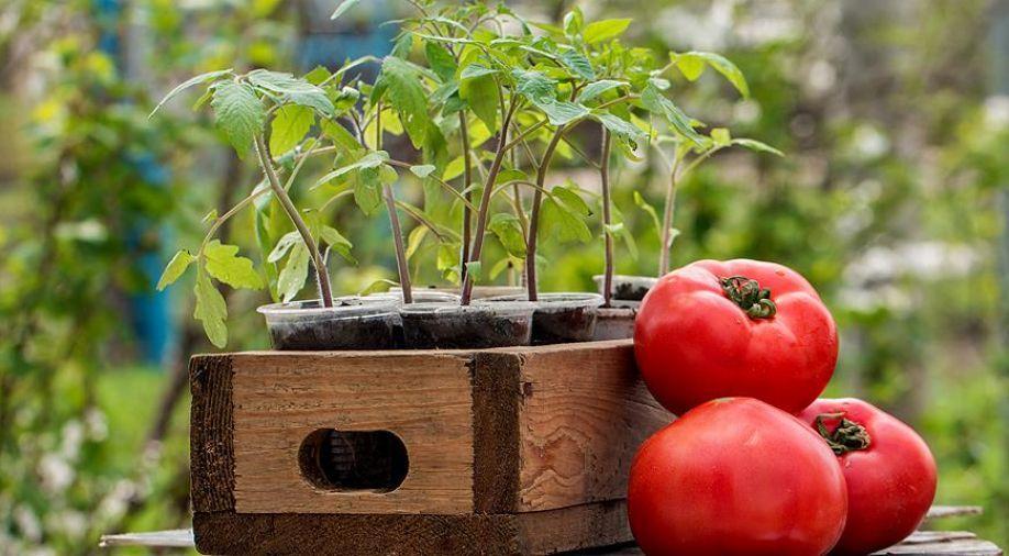 """Когда сажать помидоры на рассаду в апреле-2019: благоприятные дни, даты высадки томатов по лунному календарю"""""""