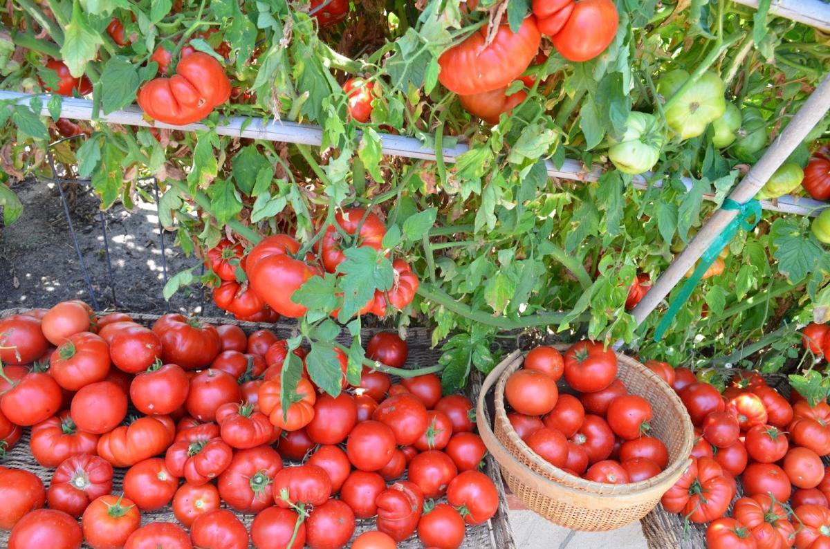 Как сохранить урожай томатов в дождливое лето: секреты получения урожая помидоров в период похолодания