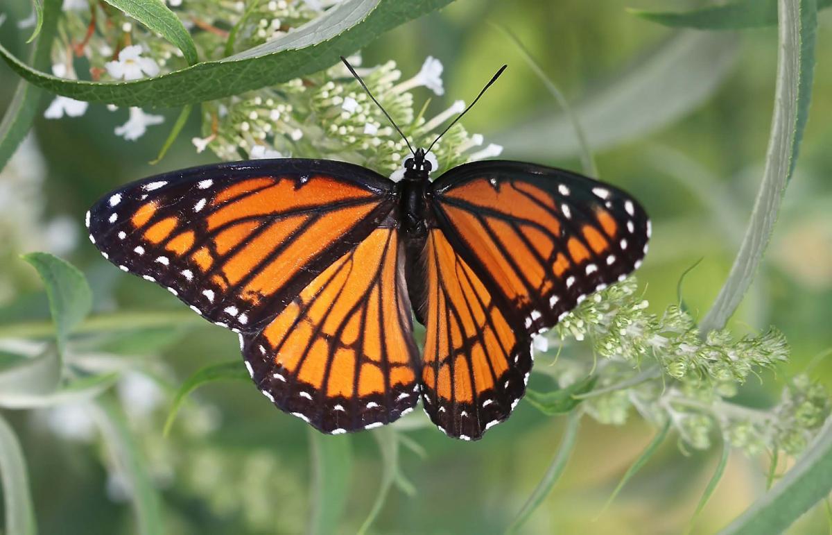 Аномальное количество бабочек наблюдается в Севастополе