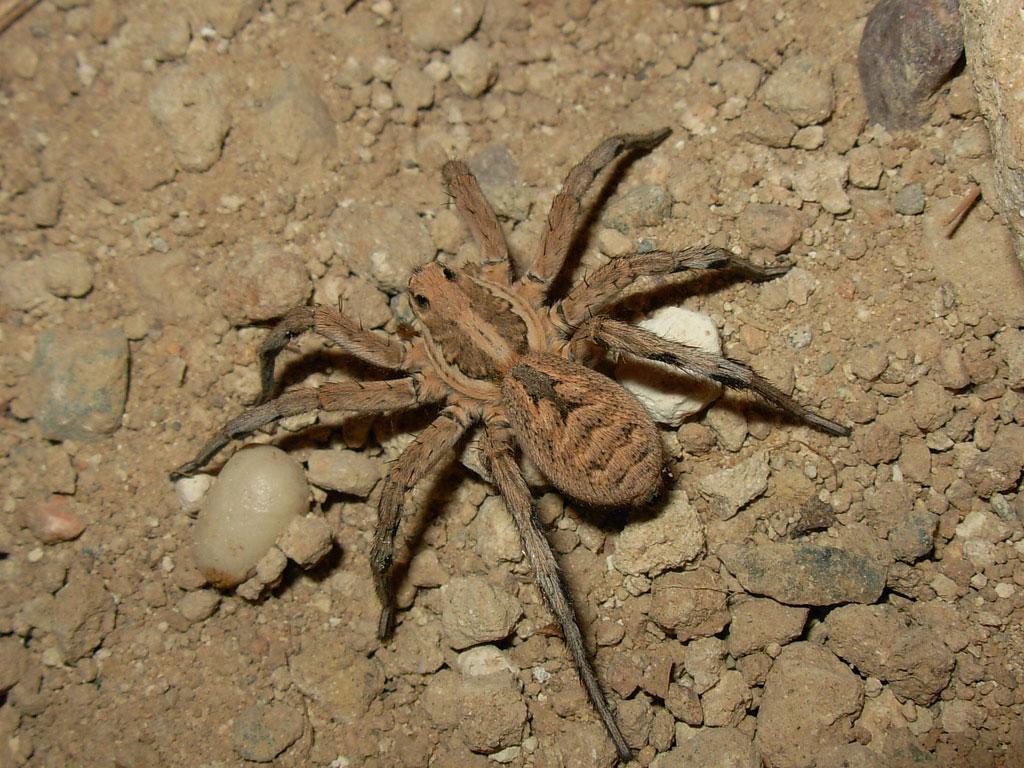 Волгоград стали активно осваивать тарантулы