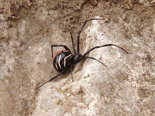 Пауки каракурты из рода черных вдов «покинули» Волгоградскую область