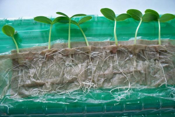 Посадка рассады в улитках и пеленках – удивительные результаты выращивания семян на рассаду