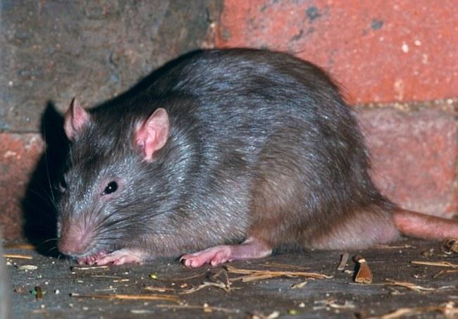 Жителей Волгограда пугают огромные крысы в центре города