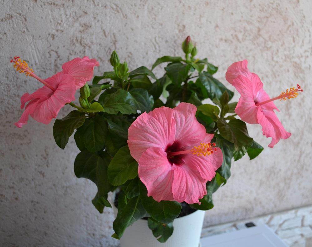Комнатные цветы, которые даруют любовь и семейное счастье
