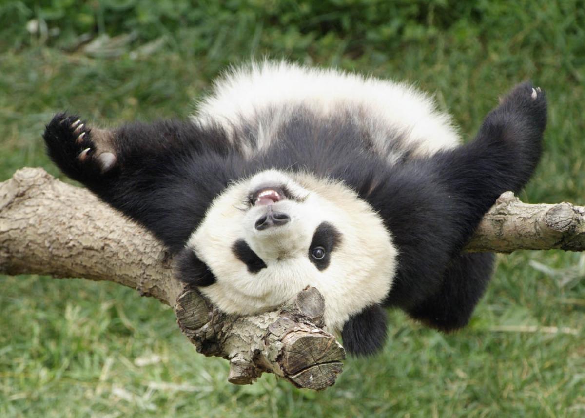 В Московском зоопарке появятся гигантские панды из Китая