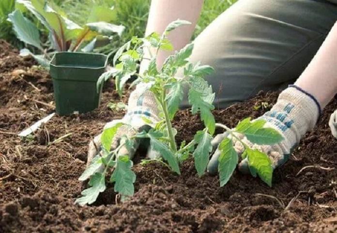 Когда высаживать помидоры в открытый грунт в 2019 году: благоприятные дни для пересадки, подкормки и пасынкования томатов в мае и июне
