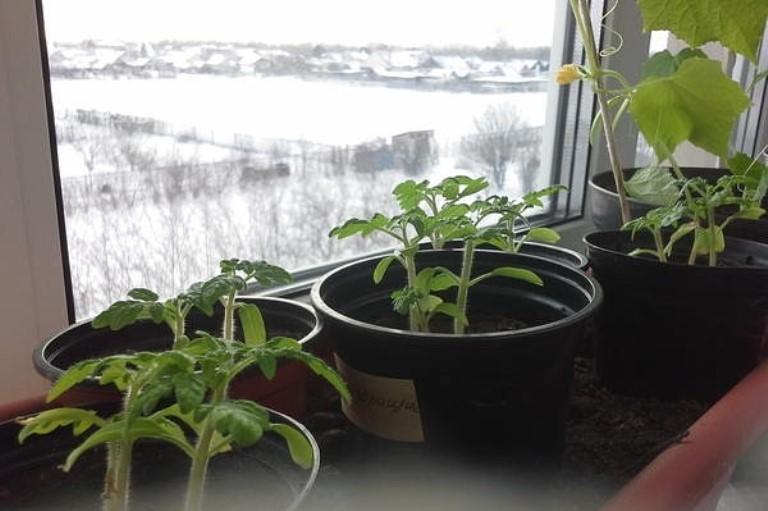 Выращивание огурцов и помидоров на подоконнике в феврале