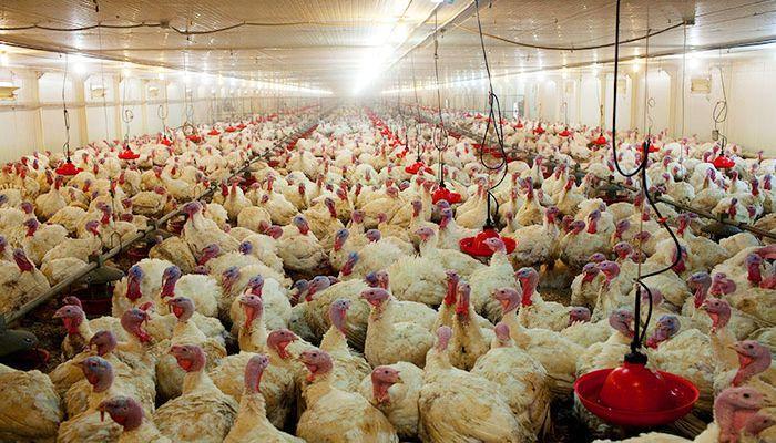 """Птичий грипп в Евродоне уничтожает """"родительское стадо"""" индейки"""