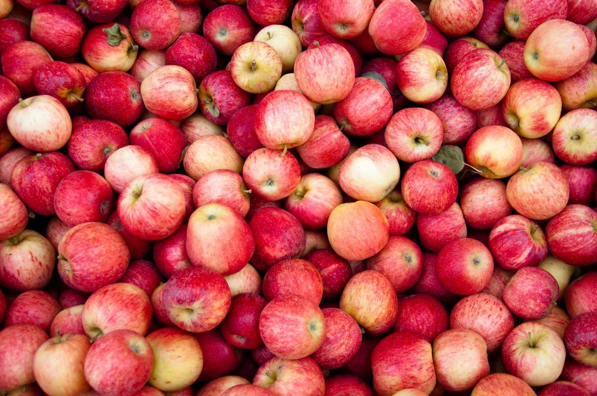 Рекордный урожай яблок собрали ставропольские садоводы
