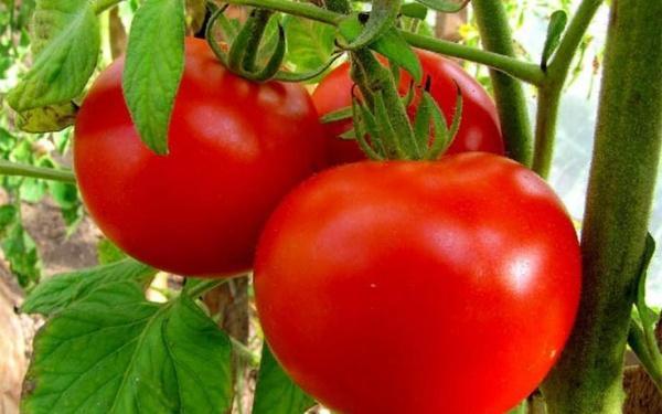 Когда сажать томаты на рассаду в 2017 году по лунному календарю: таблица благоприятных дней для посадки семян