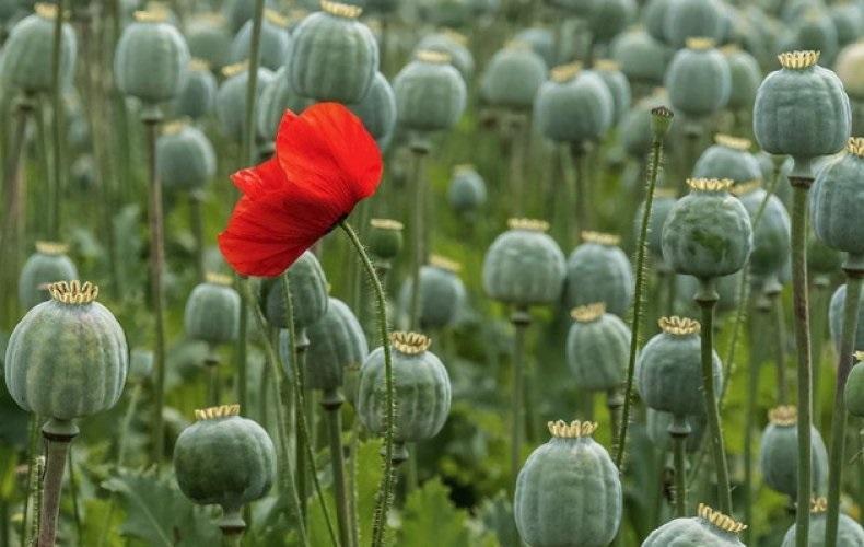 Выращивание опийного мака могут легализовать в России