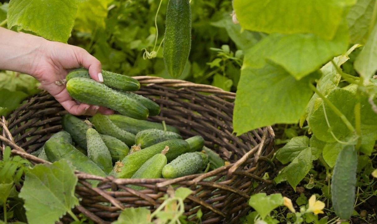 Как получить небывалый ранний урожай огурцов: секреты выращивания