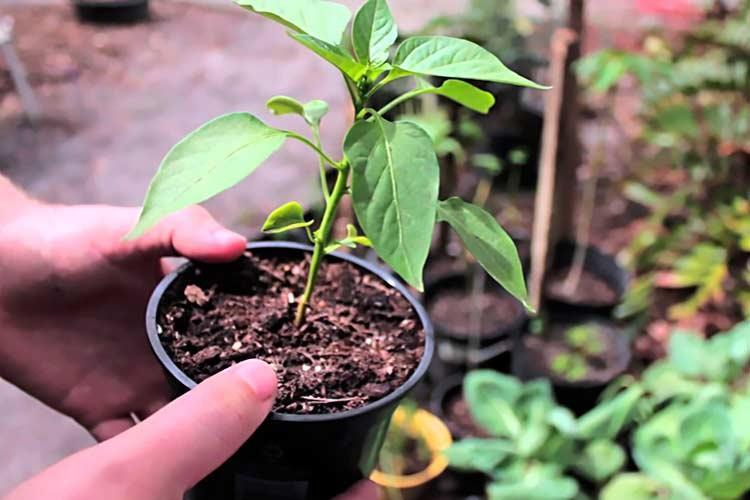 Когда сажать рассаду перца в 2019 году по лунному календарю: самые благоприятные дни для посева, сроки выращивания