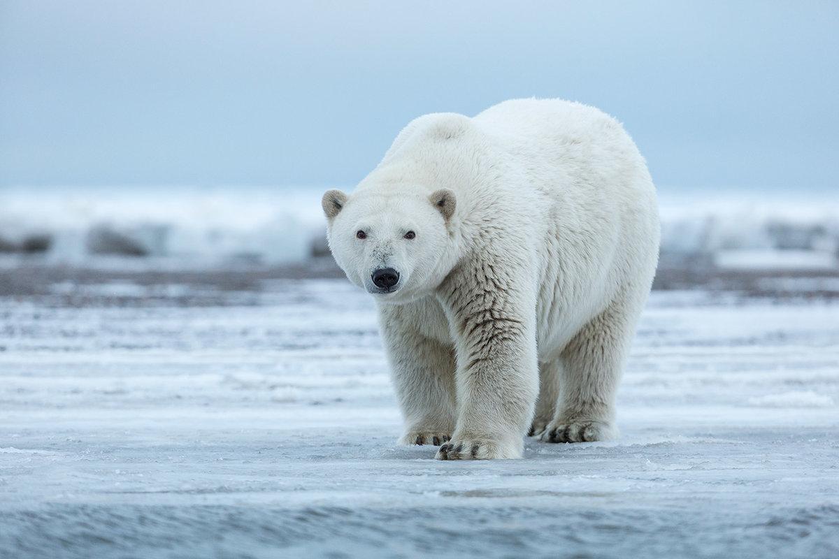 Причины массового нашествия белых медведей на Новую Землю назвал эксперт WWF
