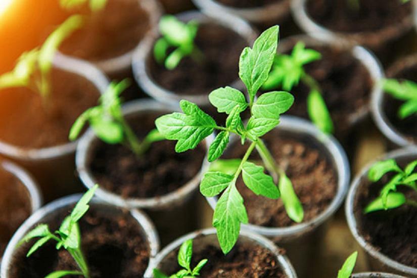 Когда сеять помидоры на рассаду в 2018 году: благоприятные дни, рекомендации овощеводов