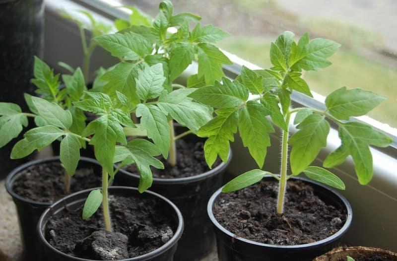 Как вырастить хорошую рассаду: экстремальный способ посева семян для получения отменного урожая