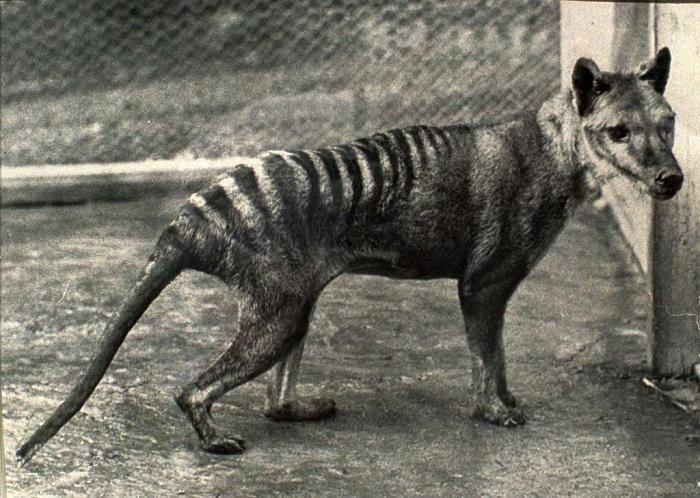 ВАвстралии навидео попало давно вымершее животное