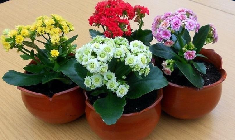 Комнатные цветы с сильной энергетикой: каланхоэ, его лечебные и магические свойства