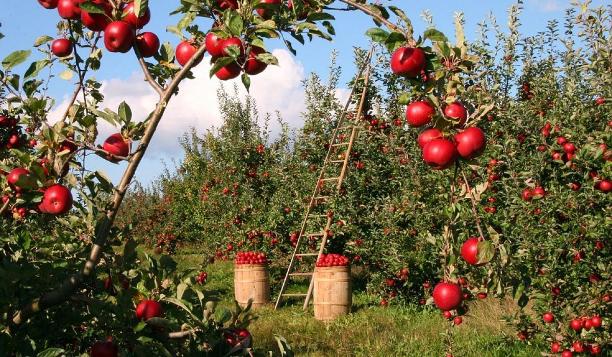 Цены на яблоки выросли, несмотря на богатый урожай