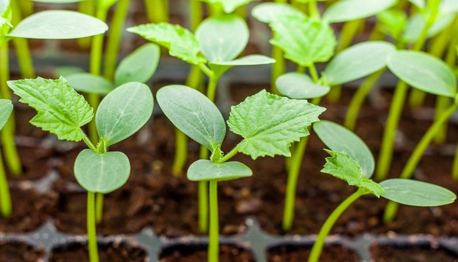 """Огород на подоконнике в марте, подготовка рассады для выращивания овощей на балконах и лоджиях"""""""