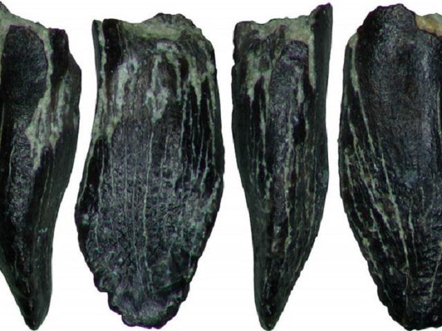 зубы зауропода